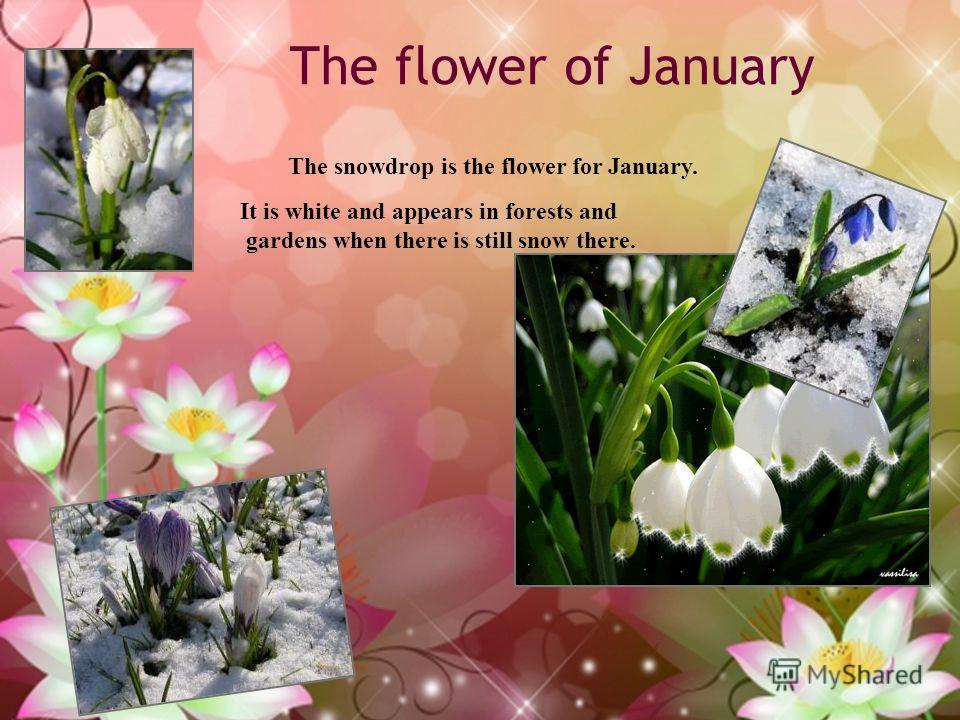 The flower of January The snowdrop is the flower for January. It is white and appears in forests and gardens when there is still snow there.