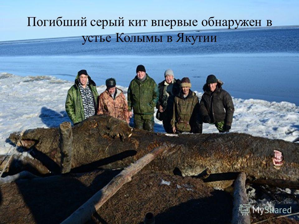 Погибший серый кит впервые обнаружен в устье Колымы в Якутии