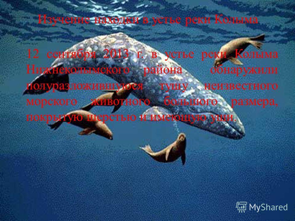 Изучение находки в устье реки Колыма 12 сентября 2013 г. в устье реки Колыма Нижнеколымского района обнаружили полуразложившуюся тушу неизвестного морского животного большого размера, покрытую шерстью и имеющую уши.