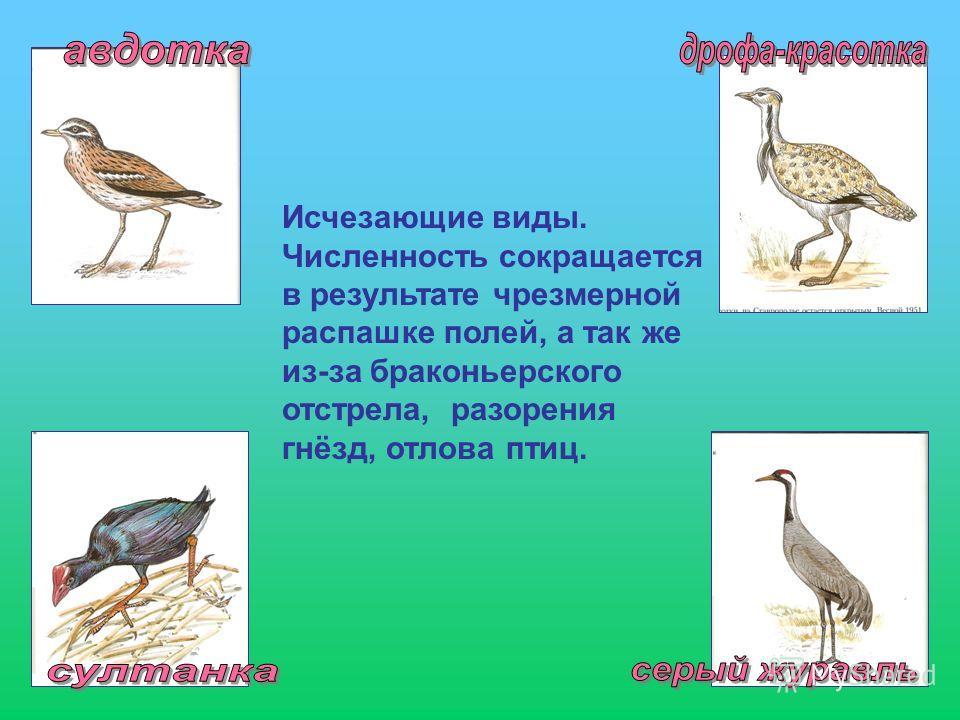 Исчезающие виды. Численность сокращается в результате чрезмерной распашке полей, а так же из-за браконьерского отстрела, разорения гнёзд, отлова птиц.
