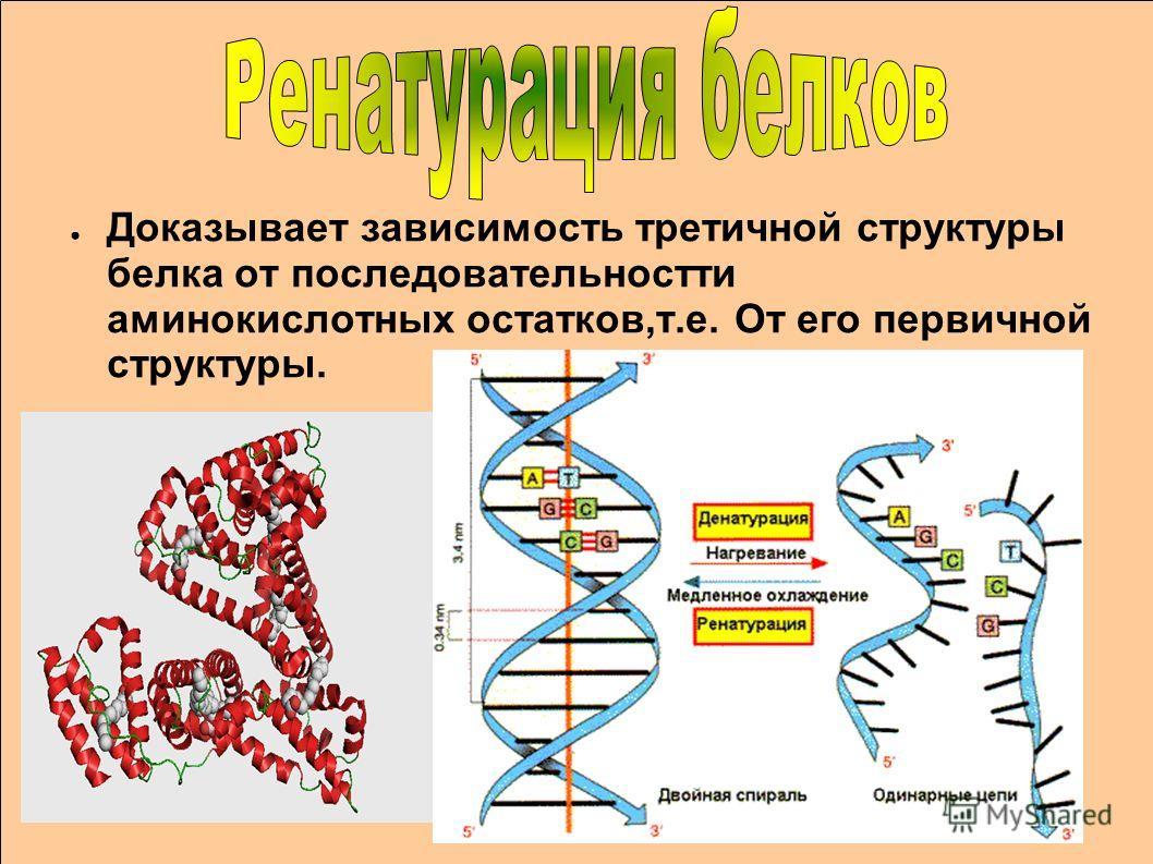 Доказывает зависимость третичной структуры белка от последовательностти аминокислотных остатков,т.е. От его первичной структуры.