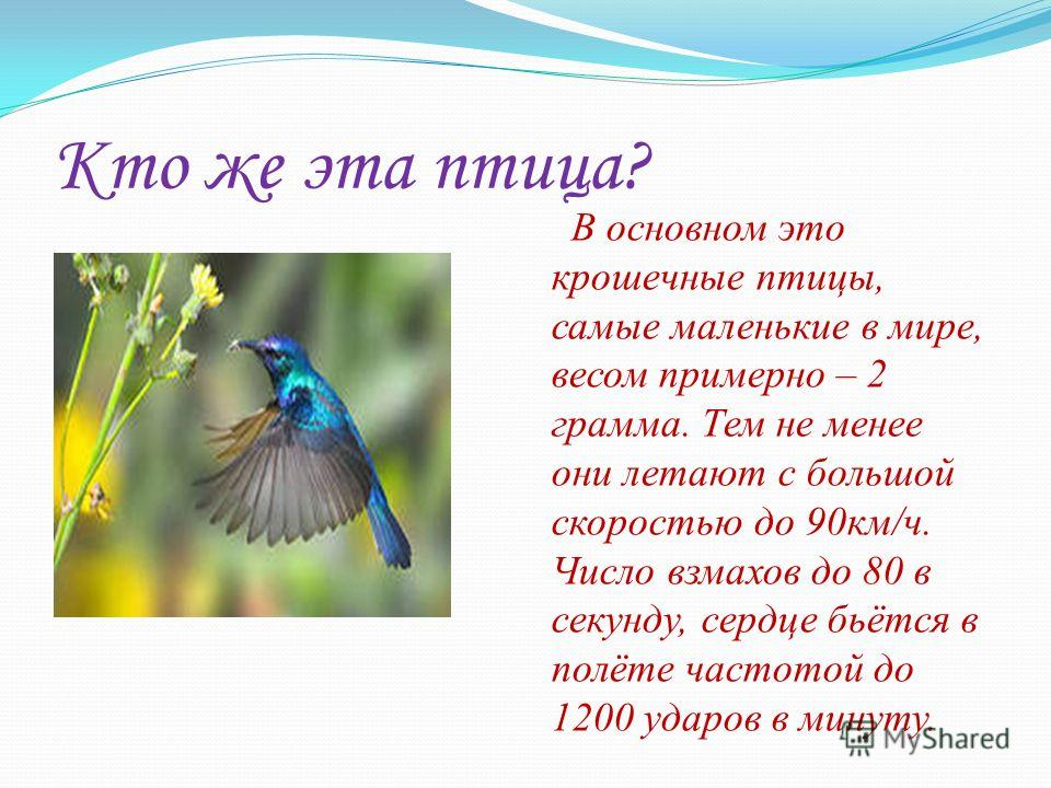 Кто же эта птица? В основном это крошечные птицы, самые маленькие в мире, весом примерно – 2 грамма. Тем не менее они летают с большой скоростью до 90км/ч. Число взмахов до 80 в секунду, сердце бьётся в полёте частотой до 1200 ударов в минуту.