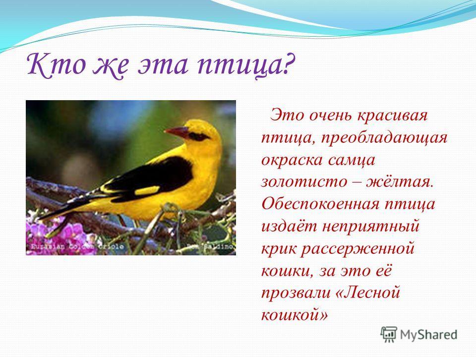 Кто же эта птица? Это очень красивая птица, преобладающая окраска самца золотисто – жёлтая. Обеспокоенная птица издаёт неприятный крик рассерженной кошки, за это её прозвали «Лесной кошкой»