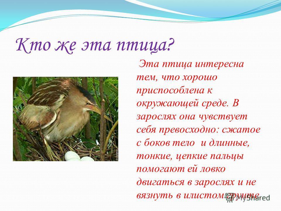 Кто же эта птица? Эта птица интересна тем, что хорошо приспособлена к окружающей среде. В зарослях она чувствует себя превосходно: сжатое с боков тело и длинные, тонкие, цепкие пальцы помогают ей ловко двигаться в зарослях и не вязнуть в илистом грун