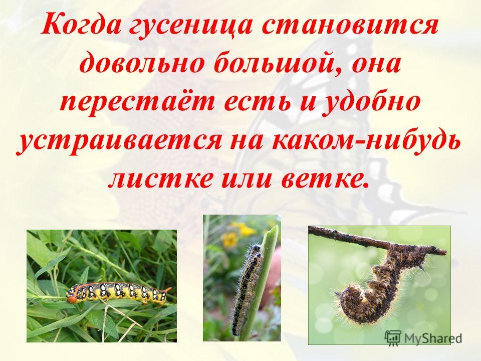 Когда гусеница становится довольно большой, она перестаёт есть и удобно устраивается на каком-нибудь листке или ветке.