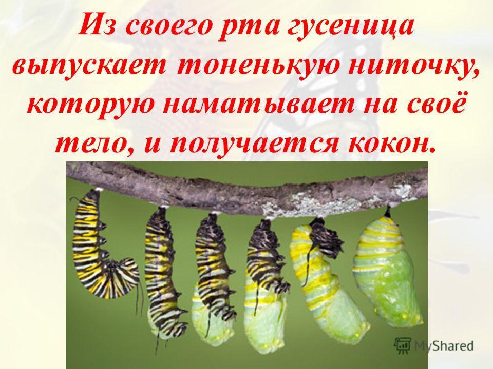 Из своего рта гусеница выпускает тоненькую ниточку, которую наматывает на своё тело, и получается кокон.