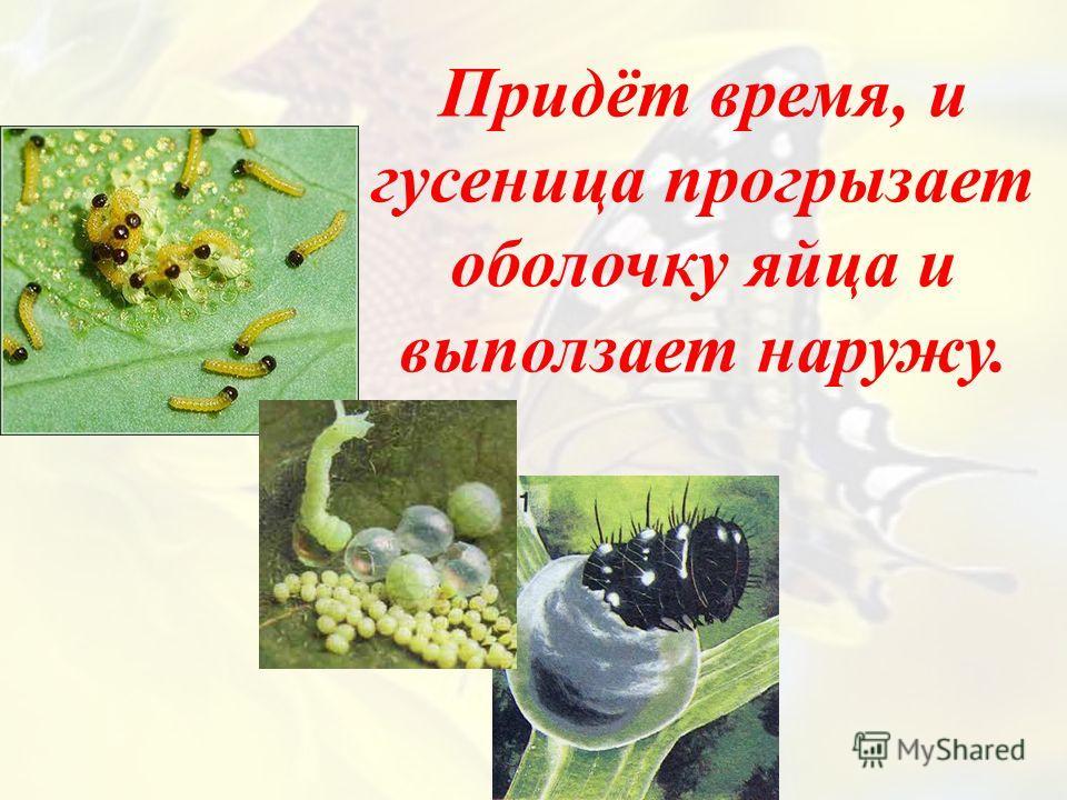 Придёт время, и гусеница прогрызает оболочку яйца и выползает наружу.