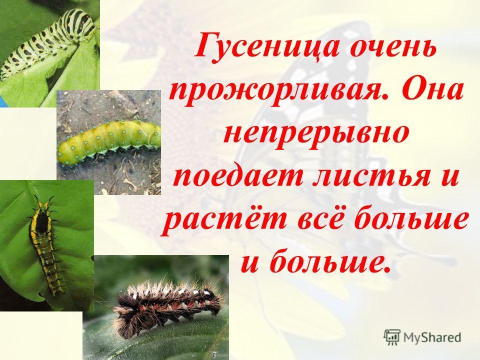 Гусеница очень прожорливая. Она непрерывно поедает листья и растёт всё больше и больше.