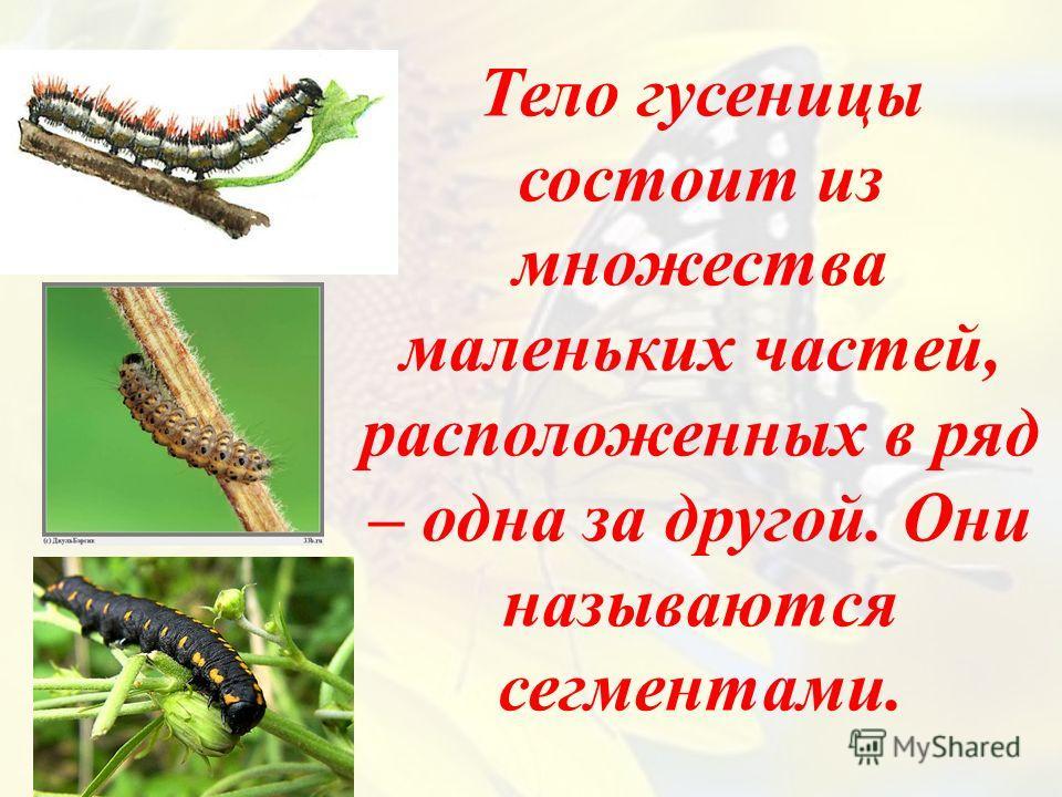 Тело гусеницы состоит из множества маленьких частей, расположенных в ряд – одна за другой. Они называются сегментами.