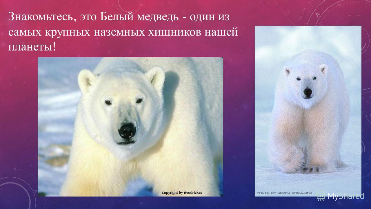 Знакомьтесь, это Белый медведь - один из самых крупных наземных хищников нашей планеты!