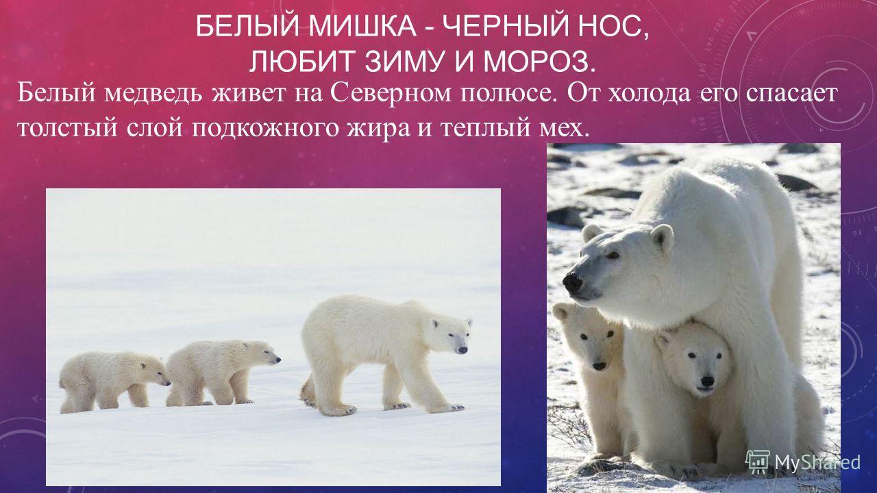 БЕЛЫЙ МИШКА - ЧЕРНЫЙ НОС, ЛЮБИТ ЗИМУ И МОРОЗ. Белый медведь живет на Северном полюсе. От холода его спасает толстый слой подкожного жира и теплый мех.