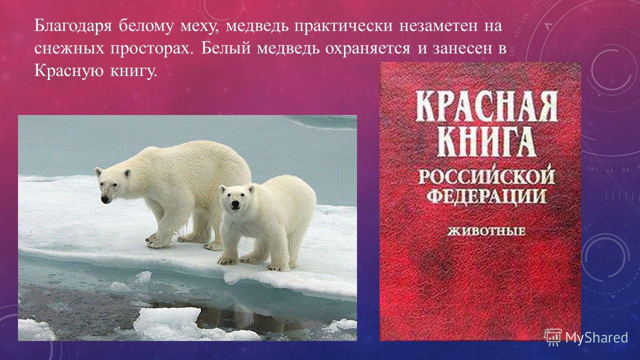 Благодаря белому меху, медведь практически незаметен на снежных просторах. Белый медведь охраняется и занесен в Красную книгу.