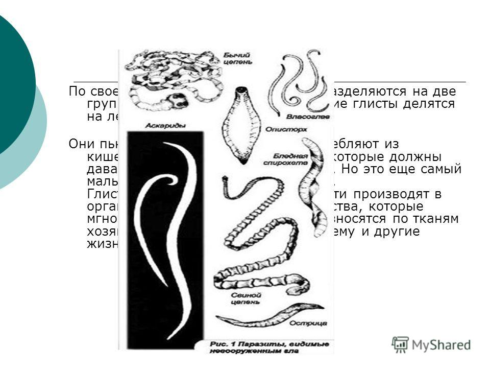 По своему строению и форме глисты разделяются на две группы: нематоды и плоские. Плоские глисты делятся на ленточных червей и трематод. Они пьют кровь и тканевые соки, потребляют из кишечника питательные вещества, которые должны давать питание органи