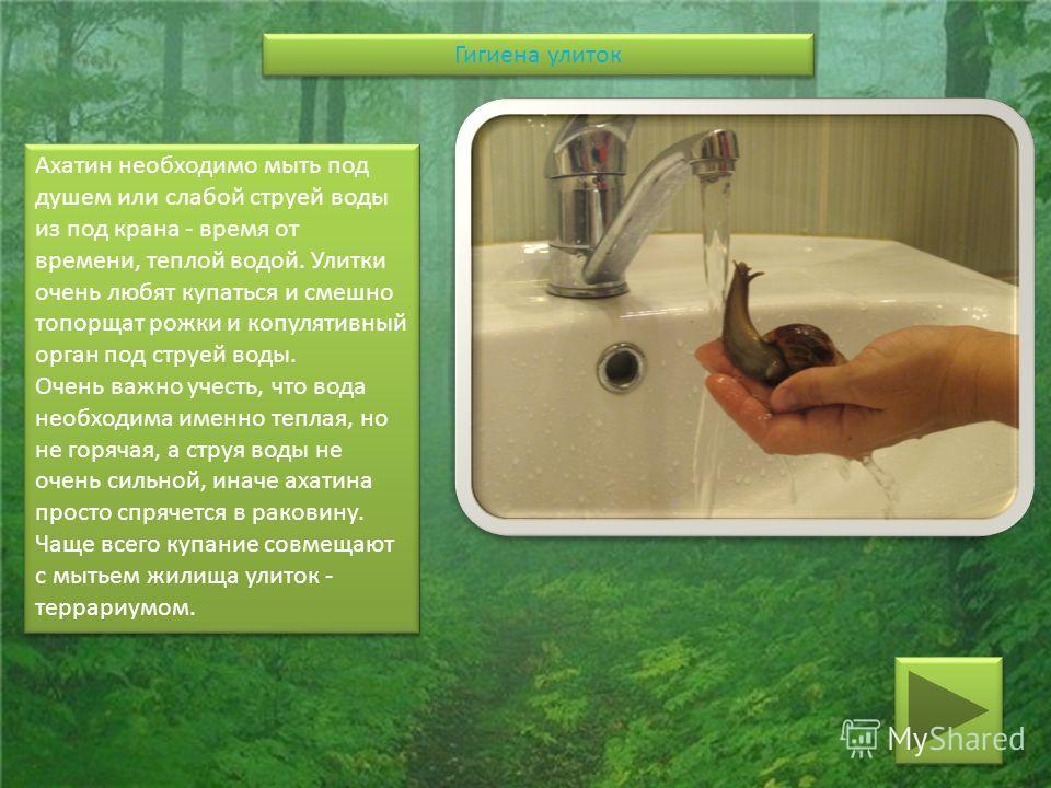 Ахатин необходимо мыть под душем или слабой струей воды из под крана - время от времени, теплой водой. Улитки очень любят купаться и смешно топорщат рожки и копулятивный орган под струей воды. Очень важно учесть, что вода необходима именно теплая, но