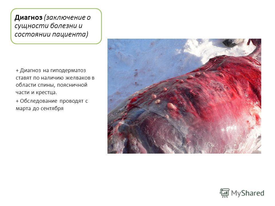 Диагноз (заключение о сущности болезни и состоянии пациента) + Диагноз на гиподерматоз ставят по наличию желваков в области спины, поясничной части и крестца. + Обследование проводят с марта до сентября