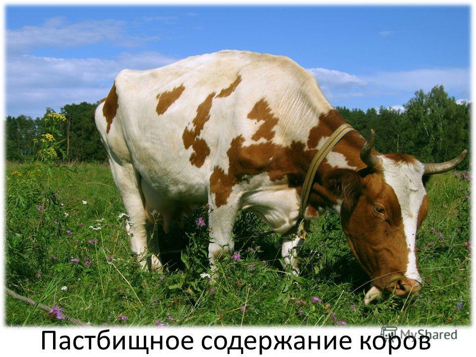 Пастбищное содержание коров