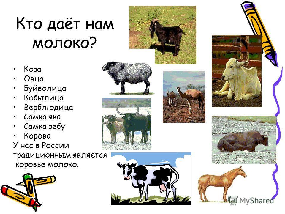 Кто даёт нам молоко? Коза Овца Буйволица Кобылица Верблюдица Самка яка Самка зебу Корова У нас в России традиционным является коровье молоко.