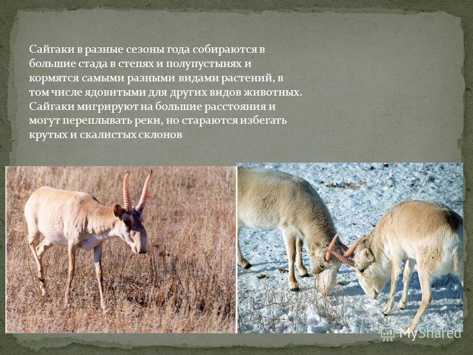 Сайгаки в разные сезоны года собираются в большие стада в степях и полупустынях и кормятся самыми разными видами растений, в том числе ядовитыми для других видов животных. Сайгаки мигрируют на большие расстояния и могут переплывать реки, но стараются