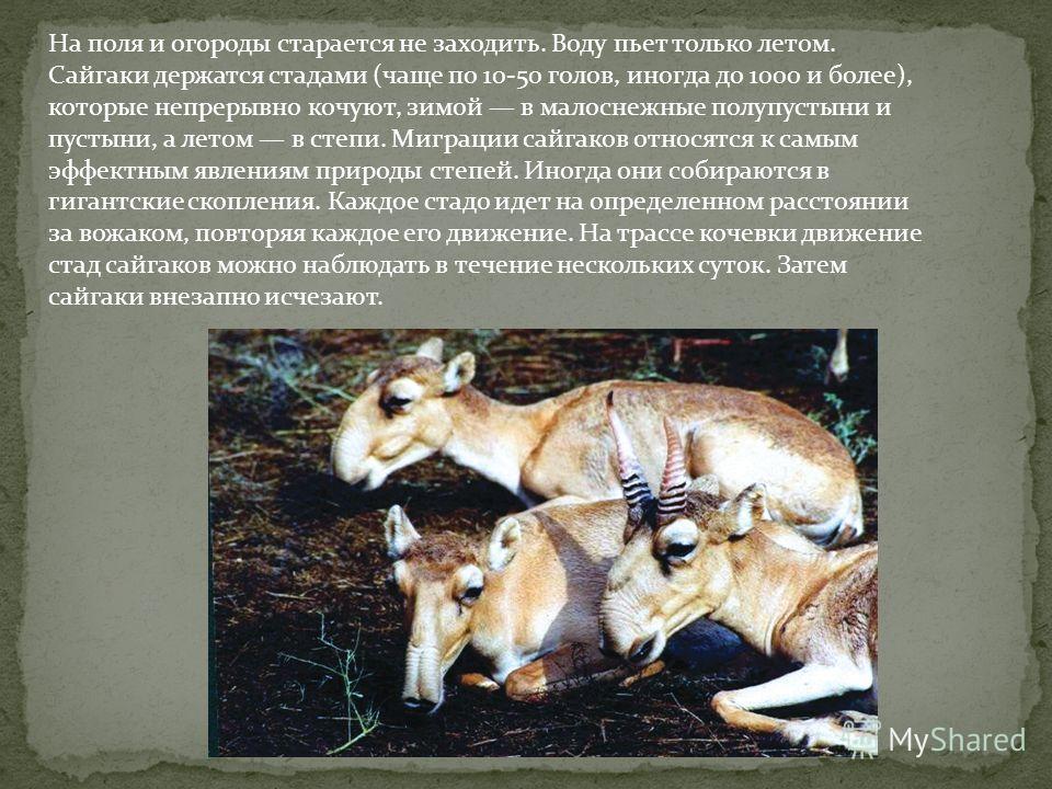 На поля и огороды старается не заходить. Воду пьет только летом. Сайгаки держатся стадами (чаще по 10-50 голов, иногда до 1000 и более), которые непрерывно кочуют, зимой в малоснежные полупустыни и пустыни, а летом в степи. Миграции сайгаков относятс