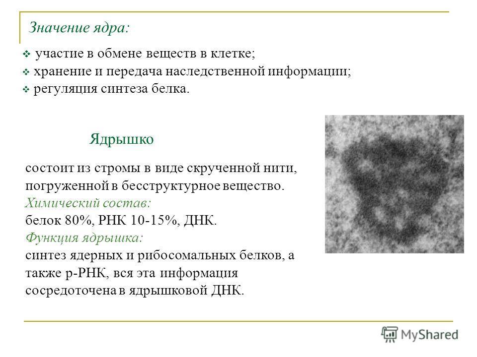 Значение ядра: участие в обмене веществ в клетке; хранение и передача наследственной информации; регуляция синтеза белка. Ядрышко состоит из стромы в виде скрученной нити, погруженной в бесструктурное вещество. Химический состав: белок 80%, РНК 10-15