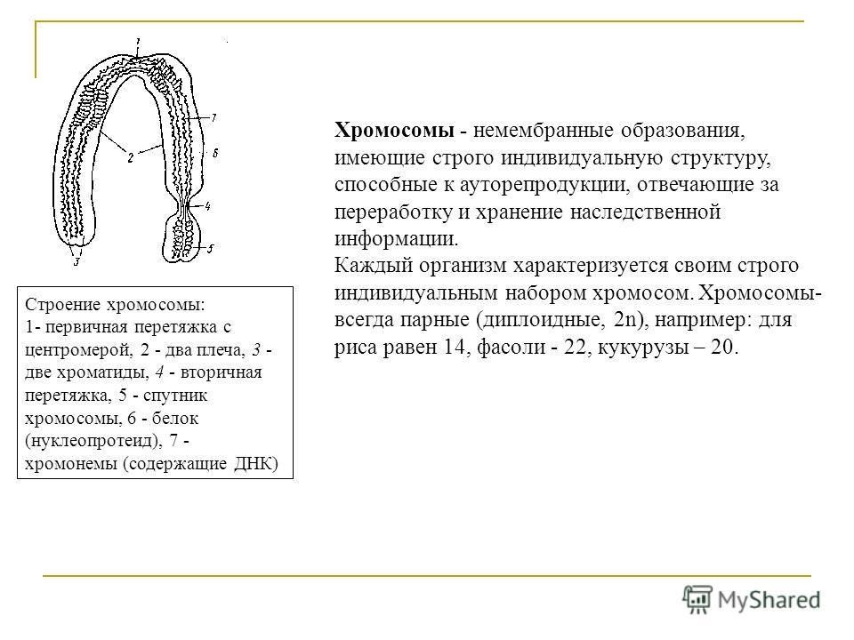 Строение хромосомы: 1- первичная перетяжка с центромерой, 2 - два плеча, 3 - две хроматиды, 4 - вторичная перетяжка, 5 - спутник хромосомы, 6 - белок (нуклеопротеид), 7 - хромонемы (содержащие ДНК) Хромосомы - немембранные образования, имеющие строго