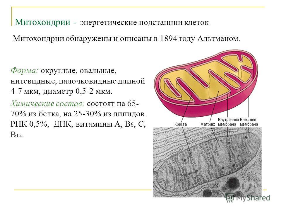 Митохондрии - энергетические подстанции клеток Митохондрии обнаружены и описаны в 1894 году Альтманом. Форма: округлые, овальные, нитевидные, палочковидные длиной 4-7 мкм, диаметр 0,5-2 мкм. Химические состав: состоят на 65- 70% из белка, на 25-30% и