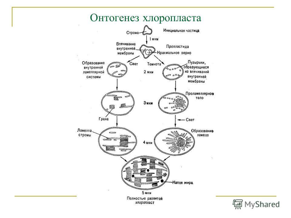 Онтогенез хлоропласта