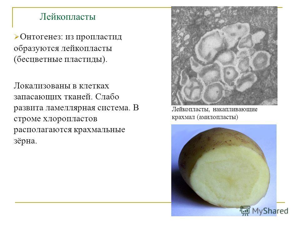 Онтогенез: из пропластид образуются лейкопласты (бесцветные пластиды). Локализованы в клетках запасающих тканей. Слабо развита ламеллярная система. В строме хлоропластов располагаются крахмальные зёрна. Лейкопласты, накапливающие крахмал (амилопласты