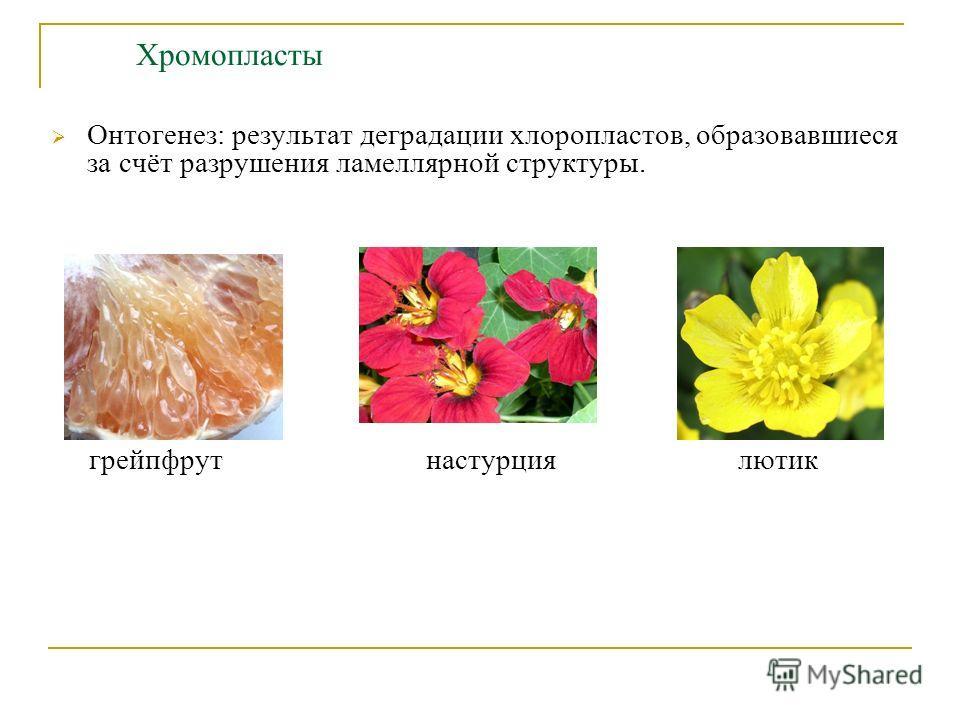 Хромопласты Онтогенез: результат деградации хлоропластов, образовавшиеся за счёт разрушения ламеллярной структуры. грейпфрут настурция лютик