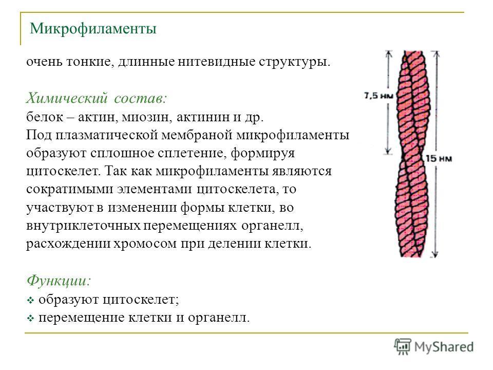 Микрофиламенты очень тонкие, длинные нитевидные структуры. Химический состав: белок – актин, миозин, актинин и др. Под плазматической мембраной микрофиламенты образуют сплошное сплетение, формируя цитоскелет. Так как микрофиламенты являются сократимы