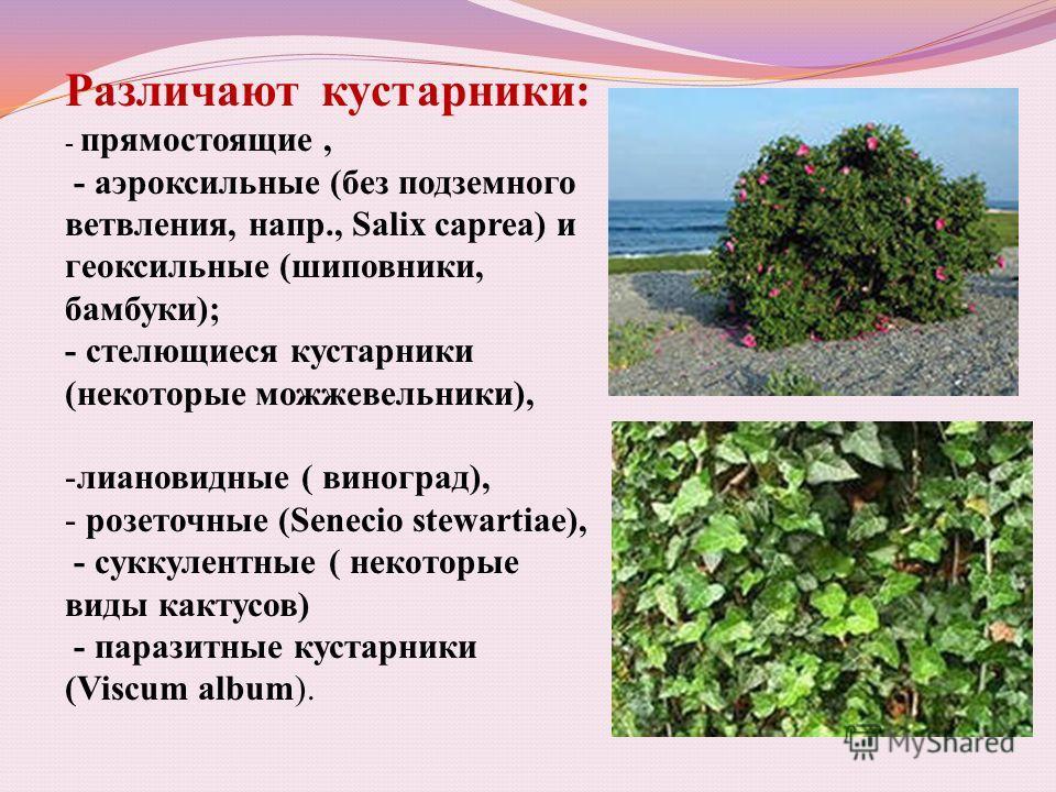 Различают кустарники: - прямостоящие, - аэроксильные (без подземного ветвления, напр., Salix caprea) и геоксильные (шиповники, бамбуки); - стелющиеся кустарники (некоторые можжевельники), -лиановидные ( виноград), - розеточные (Senecio stewartiae), -