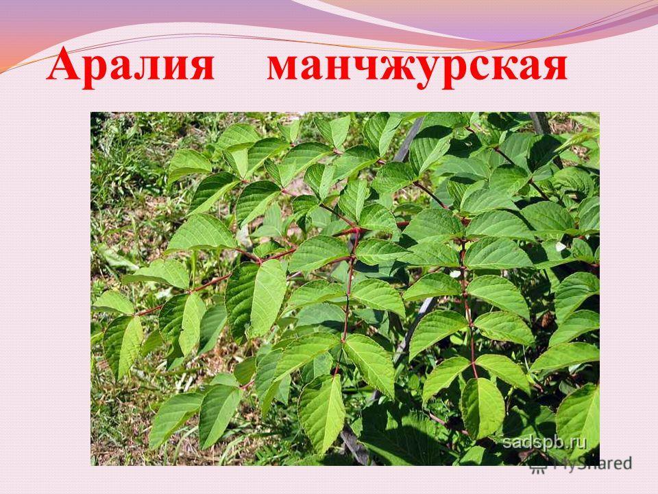 Аралия манчжурская