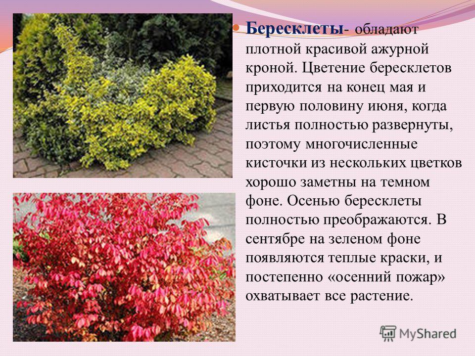 Бересклеты - обладают плотной красивой ажурной кроной. Цветение бересклетов приходится на конец мая и первую половину июня, когда листья полностью развернуты, поэтому многочисленные кисточки из нескольких цветков хорошо заметны на темном фоне. Осенью