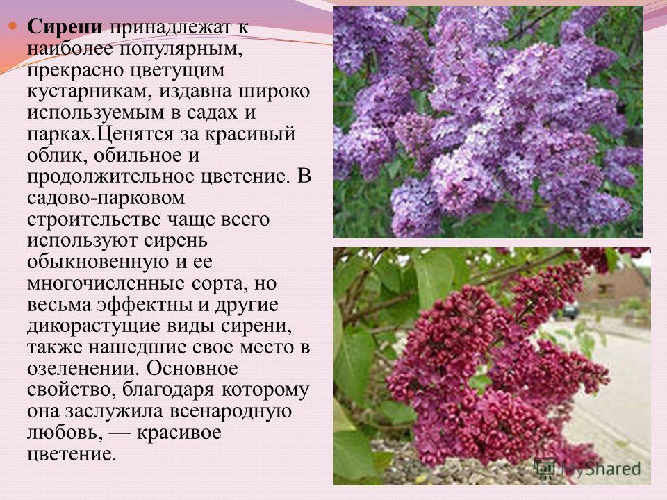 Сирени принадлежат к наиболее популярным, прекрасно цветущим кустарникам, издавна широко используемым в садах и парках.Ценятся за красивый облик, обильное и продолжительное цветение. В садово-парковом строительстве чаще всего используют сирень обыкно