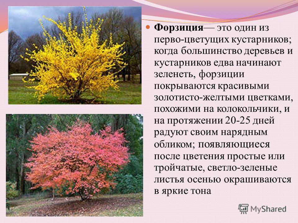 Форзиция это один из перво-цветущих кустарников; когда большинство деревьев и кустарников едва начинают зеленеть, форзиции покрываются красивыми золотисто-желтыми цветками, похожими на колокольчики, и на протяжении 20-25 дней радуют своим нарядным об