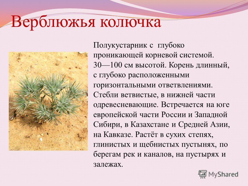 Верблюжья колючка Полукустарник с глубоко проникающей корневой системой. 30100 см высотой. Корень длинный, с глубоко расположенными горизонтальными ответвлениями. Стебли ветвистые, в нижней части одревесневающие. Встречается на юге европейской части