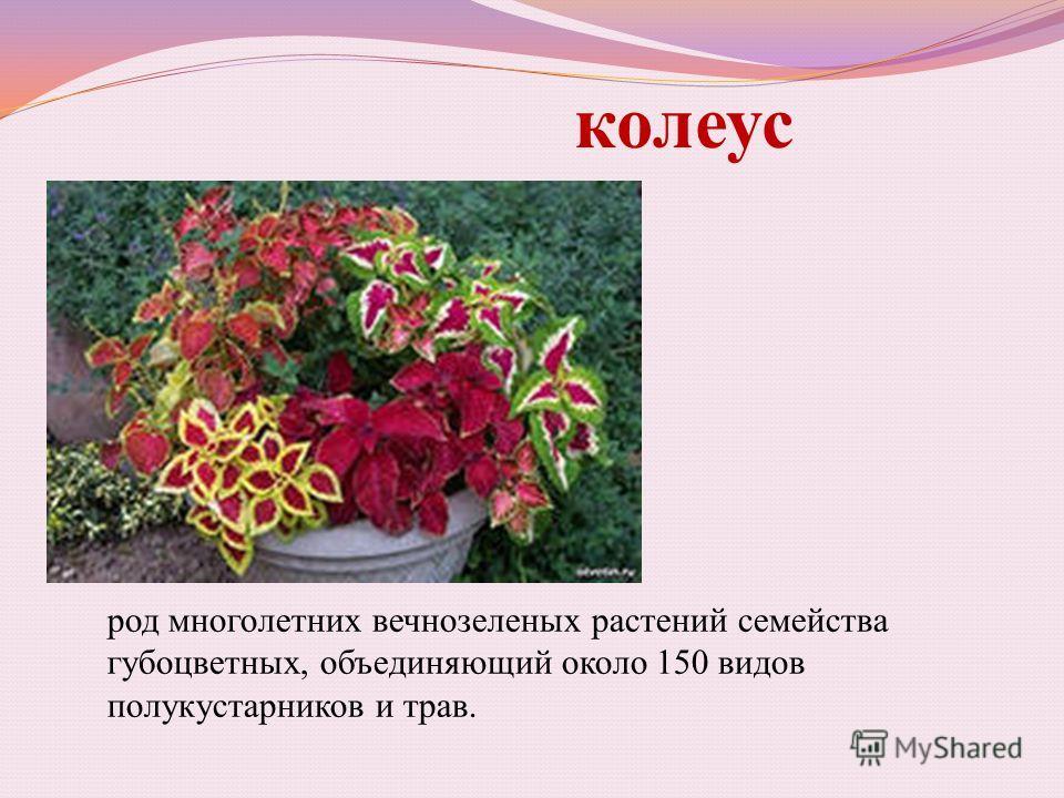 колеус род многолетних вечнозеленых растений семейства губоцветных, объединяющий около 150 видов полукустарников и трав.