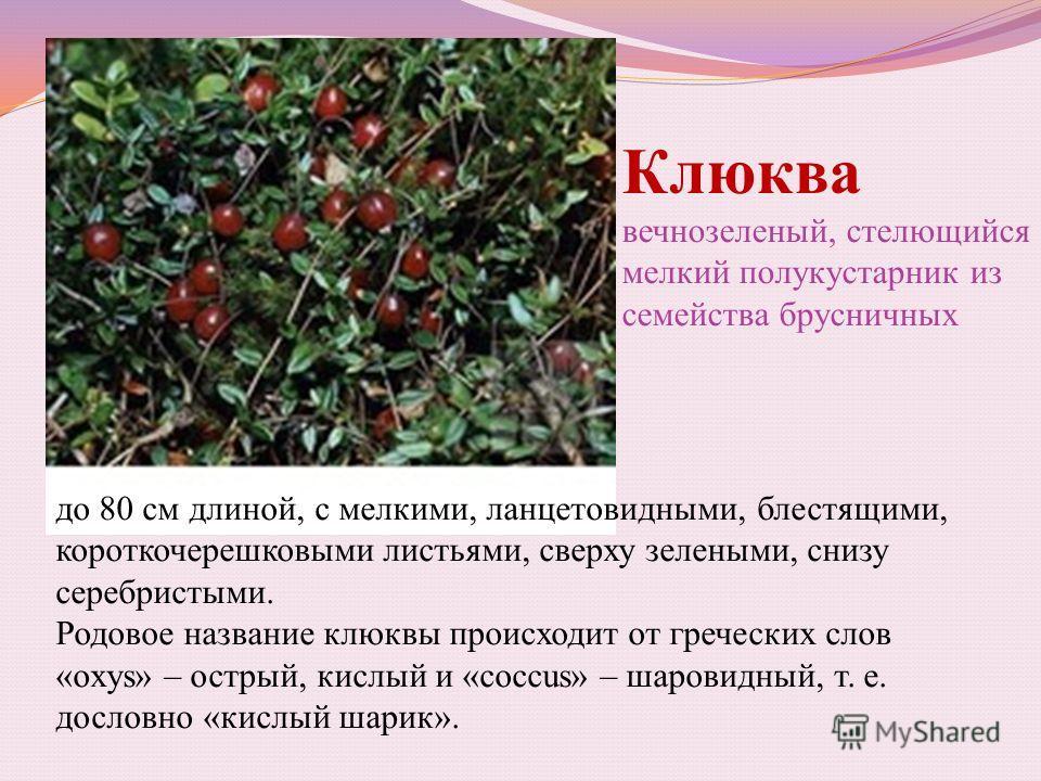 Клюква вечнозеленый, стелющийся мелкий полукустарник из семейства брусничных до 80 см длиной, с мелкими, ланцетовидными, блестящими, короткочерешковыми листьями, сверху зелеными, снизу серебристыми. Родовое название клюквы происходит от греческих сло
