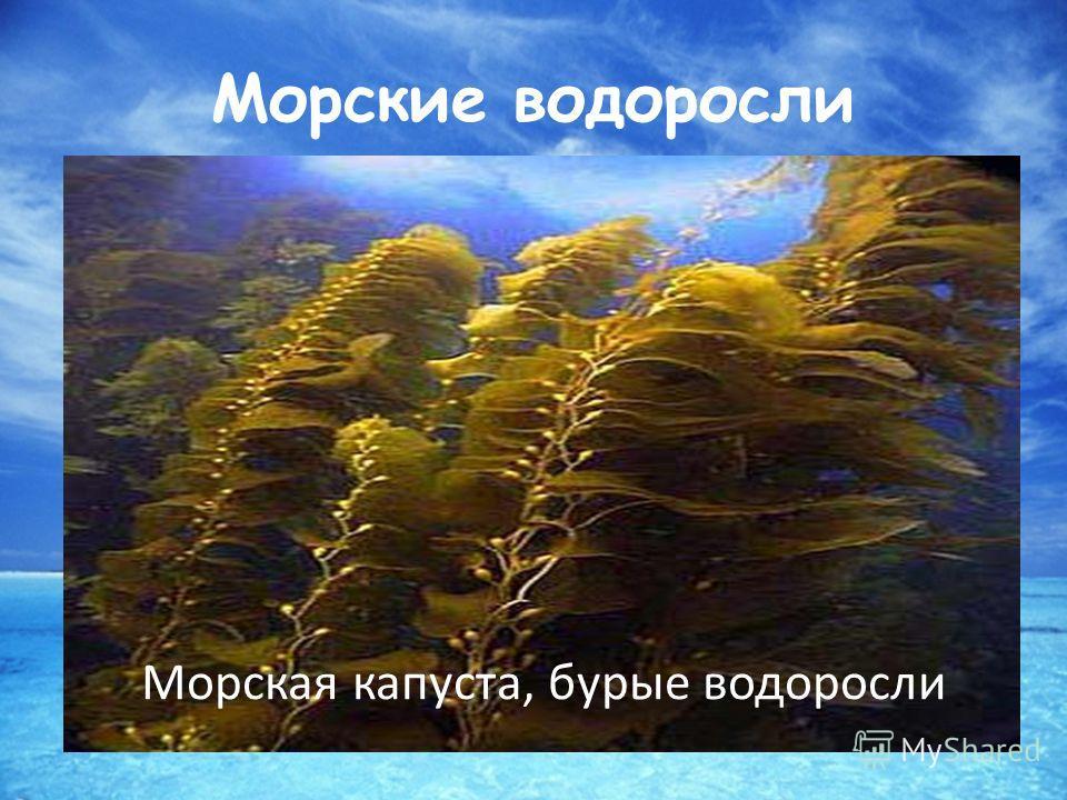 Морские водоросли Морская капуста, бурые водоросли