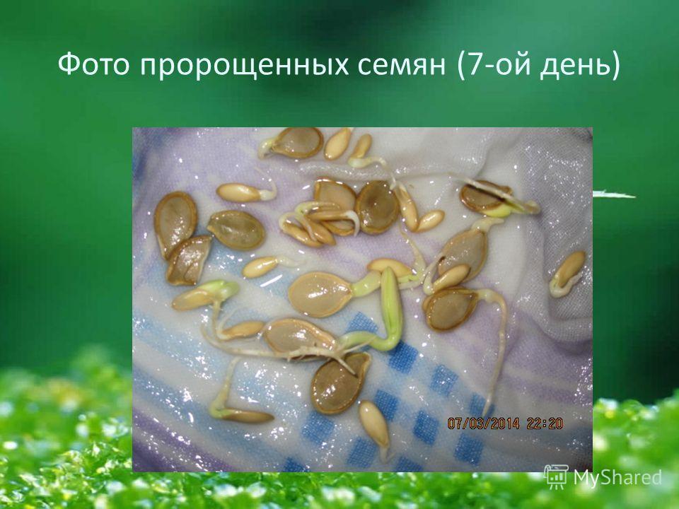 Фото пророщенных семян (7-ой день)