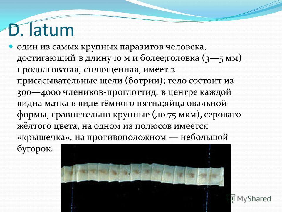 D. latum один из самых крупных паразитов человека, достигающий в длину 10 м и более;головка (35 мм) продолговатая, сплющенная, имеет 2 присасывательные щели (ботрии); тело состоит из 3004000 члеников-проглоттид, в центре каждой видна матка в виде тём
