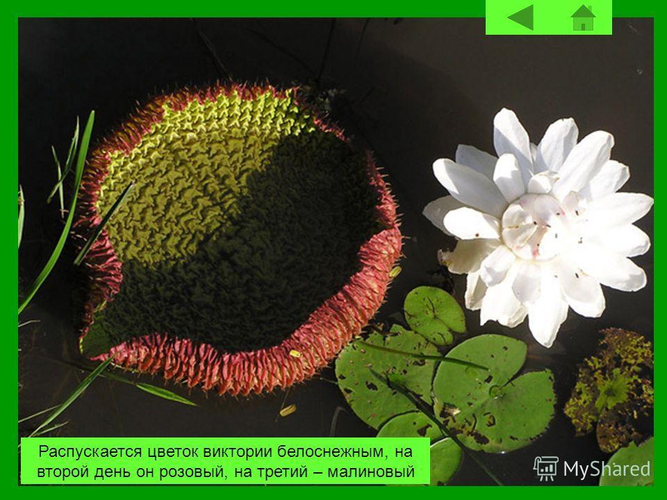 Распускается цветок виктории белоснежным, на второй день он розовый, на третий – малиновый