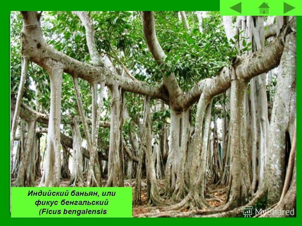 Индийский баньян, или фикус бенгальский (Ficus bengalensis