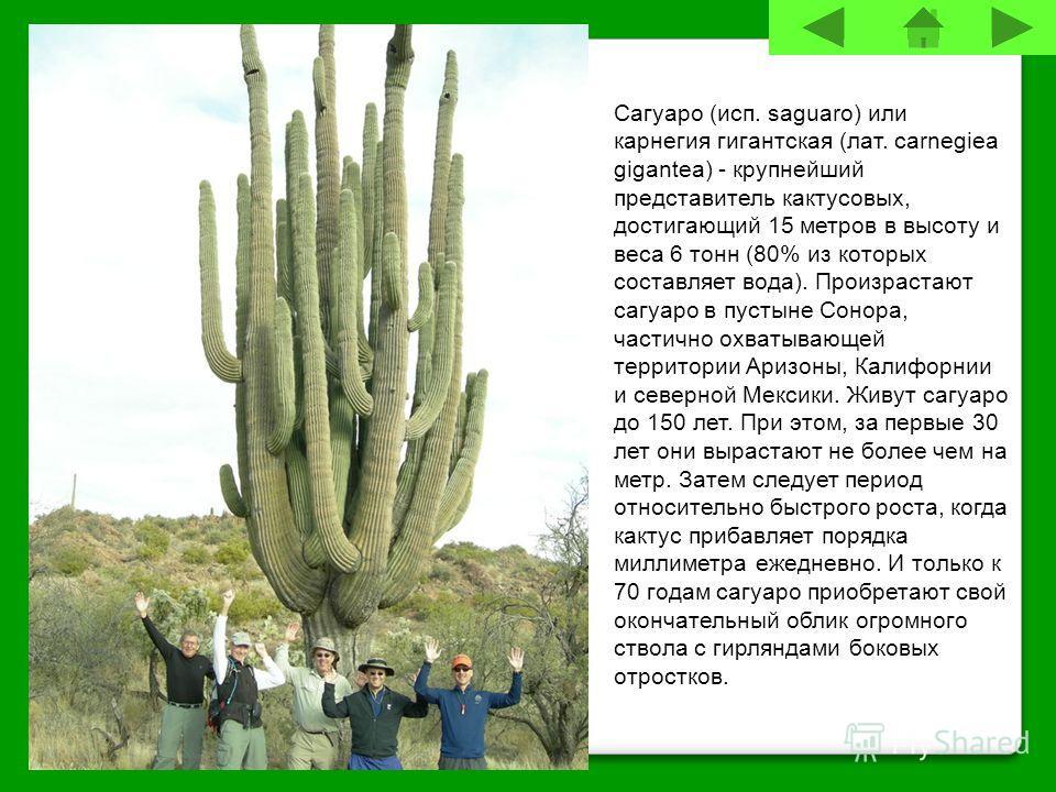 Сагуаро (исп. saguaro) или карнегия гигантская (лат. carnegiea gigantea) - крупнейший представитель кактусовых, достигающий 15 метров в высоту и веса 6 тонн (80% из которых составляет вода). Произрастают сагуаро в пустыне Сонора, частично охватывающе