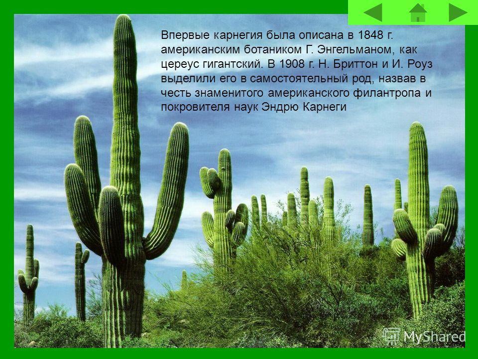 Впервые карнегия была описана в 1848 г. американским ботаником Г. Энгельманом, как цереус гигантский. В 1908 г. Н. Бриттон и И. Роуз выделили его в самостоятельный род, назвав в честь знаменитого американского филантропа и покровителя наук Эндрю Карн