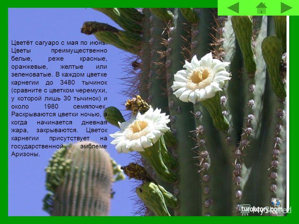 Цветёт сагуаро с мая по июнь. Цветы преимущественно белые, реже красные, оранжевые, желтые или зеленоватые. В каждом цветке карнегии до 3480 тычинок (сравните с цветком черемухи, у которой лишь 30 тычинок) и около 1980 семяпочек. Раскрываются цветки
