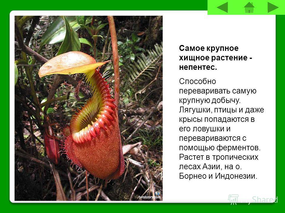 Самое крупное хищное растение - непентес. Способно переваривать самую крупную добычу. Лягушки, птицы и даже крысы попадаются в его ловушки и перевариваются с помощью ферментов. Растет в тропических лесах Азии, на о. Борнео и Индонезии.
