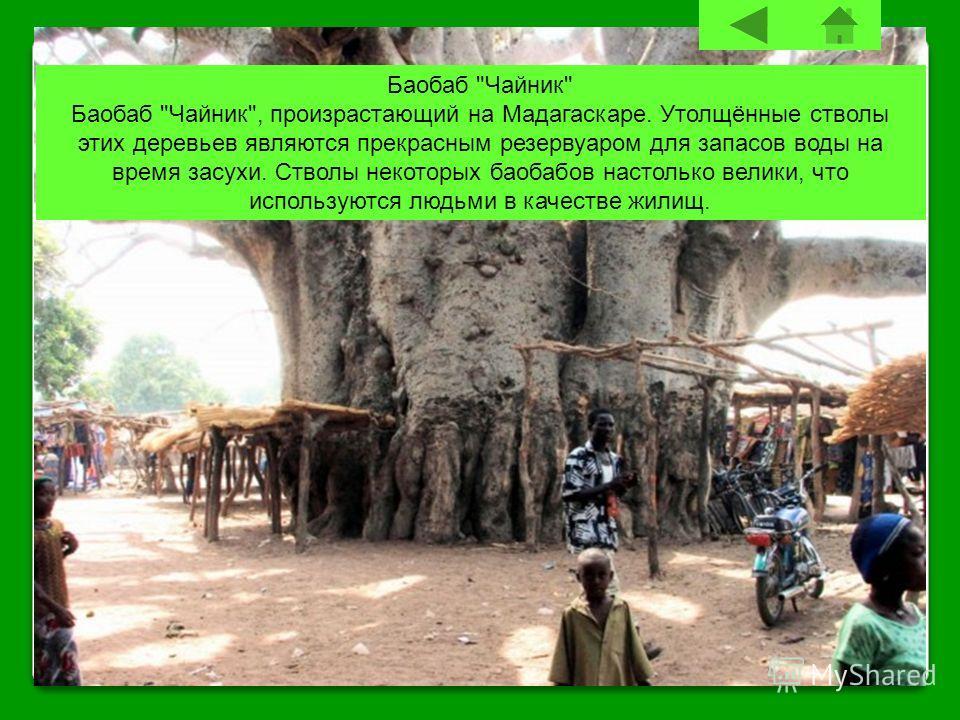 Баобаб Чайник Баобаб Чайник, произрастающий на Мадагаскаре. Утолщённые стволы этих деревьев являются прекрасным резервуаром для запасов воды на время засухи. Стволы некоторых баобабов настолько велики, что используются людьми в качестве жилищ.