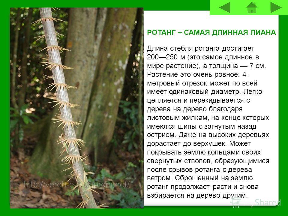 РОТАНГ – САМАЯ ДЛИННАЯ ЛИАНА Длина стебля ротанга достигает 200250 м (это самое длинное в мире растение), а толщина 7 см. Растение это очень ровное: 4- метровый отрезок может по всей имеет одинаковый диаметр. Легко цепляется и перекидывается с дерева