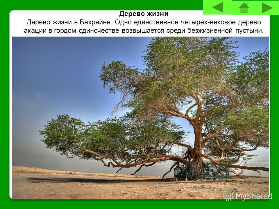 Дерево жизни Дерево жизни в Бахрейне. Одно единственное четырёх-вековое дерево акации в гордом одиночестве возвышается среди безжизненной пустыни.